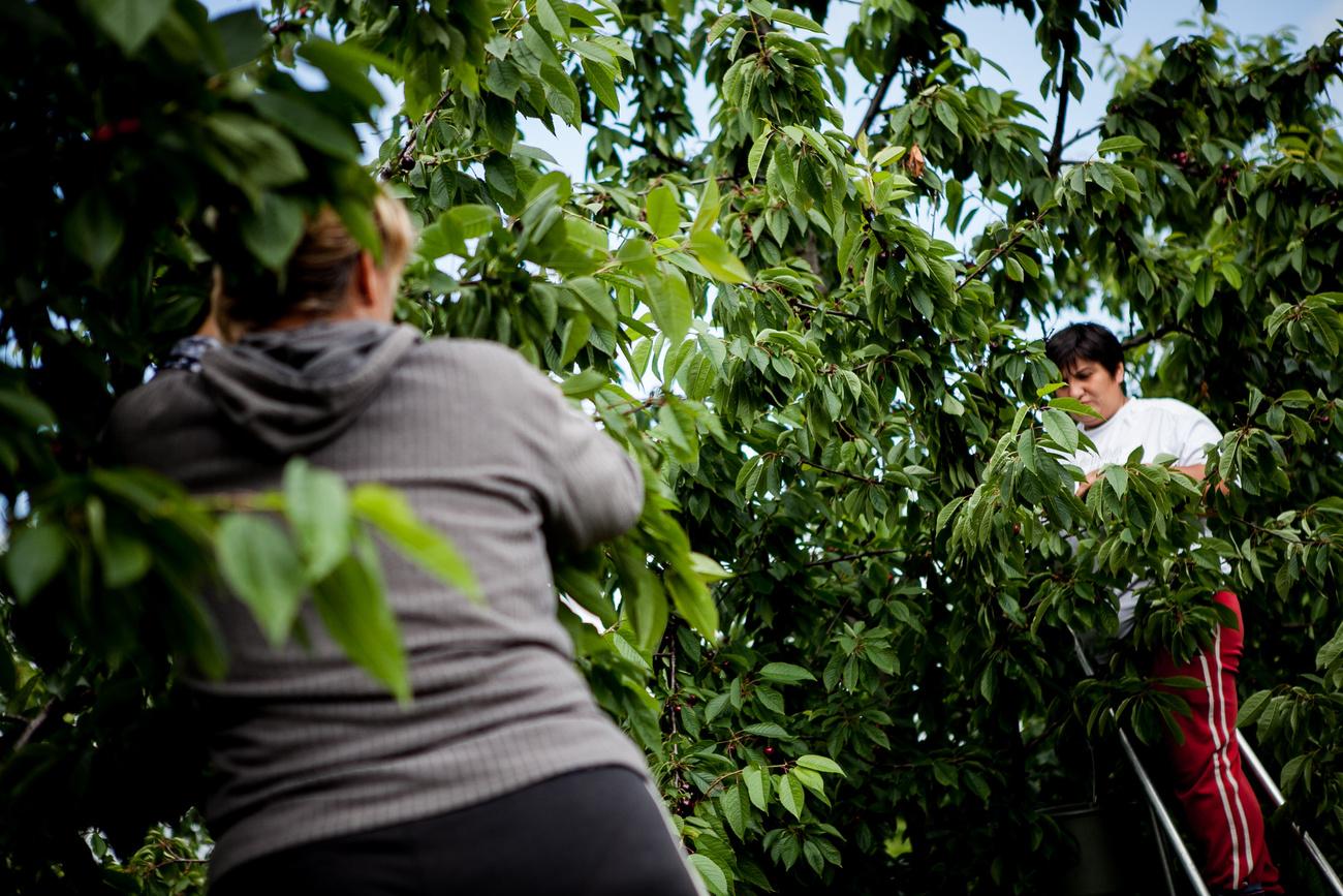 Chile is tőlünk tanulta a cseresznyetermesztést.