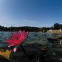 A tóban az indiai vörös tündérrózsák éjjel nyílnak, délben zárják szirmaikat