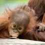 De megnézhetjük a kis kócos egyéves orángutánbébit is