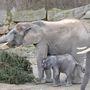 Sétán a kiselefánt a Nyíregyházi Állatparkban