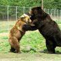 Veresegyházi medveotthon lakói