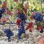 Sangiovese szőlő Toscanában