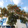 Narancsfa Tunéziában