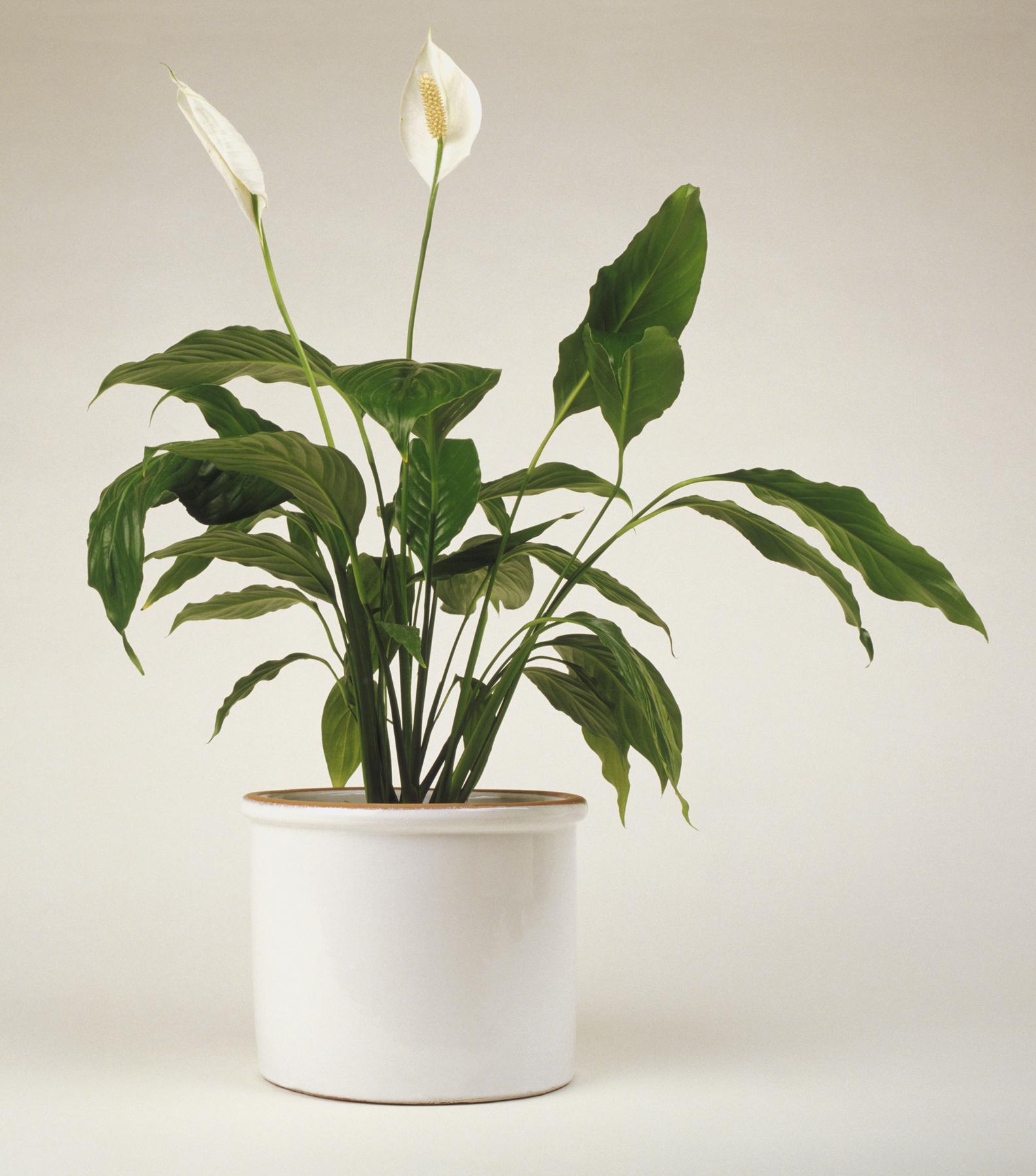 Vitorlavirág A kellemesen romantikus, fehér, tölcsérszerű virágokat akkor tudja előcsalogatni, ha a locsolással is ügyes, és a félárnyékot is biztosítja a növénynek. A közvetlen napot ugyanis a vitorlavirág nem kedveli, így igazi pompáját szűrt fényben éri el.
