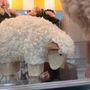 Szomorkás bárány szintén a Müllerből 1390 forintért.